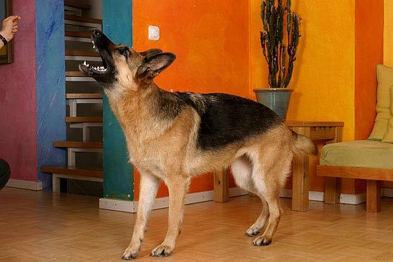 warum bellen hunde es gibt erstaunlich viele gr nde. Black Bedroom Furniture Sets. Home Design Ideas
