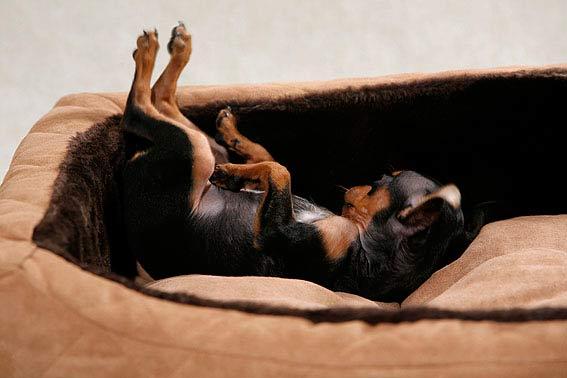 hund schl ft viel wieviel schlaf braucht er. Black Bedroom Furniture Sets. Home Design Ideas