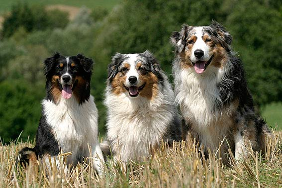 australian shepherd alle infos zur rasse. Black Bedroom Furniture Sets. Home Design Ideas