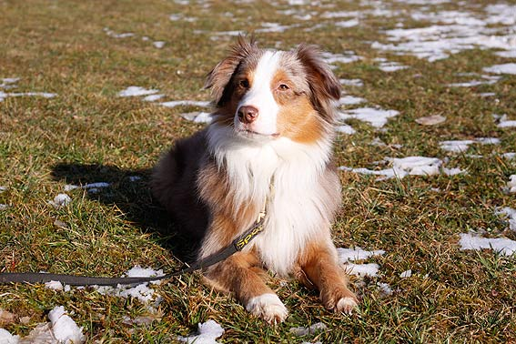 mini australian shepherd alle infos zur rasse. Black Bedroom Furniture Sets. Home Design Ideas