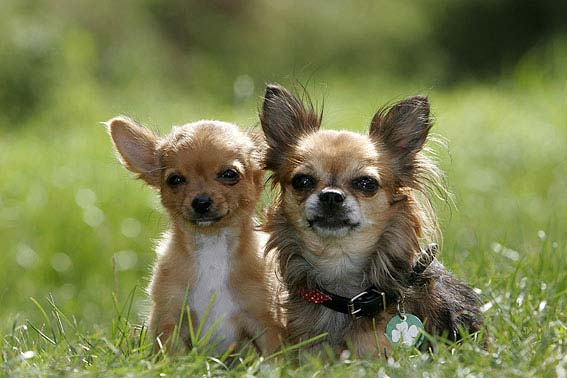 Chihuahua mit Welpe