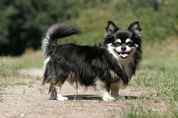 Chihuahua Alle Infos Tipps Z 252 Chter Bilder Amp Video