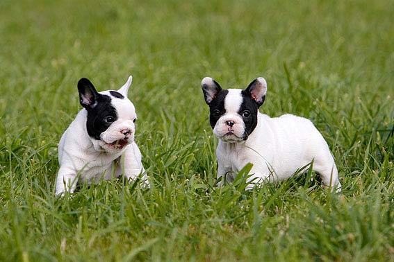 Franz 246 Sische Bulldogge Welpen Viele Tipps Und Tolle Fotos