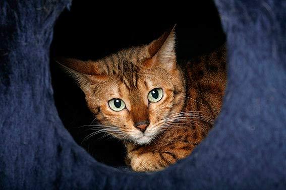 Große Katzenrassen übersicht Und Bilder