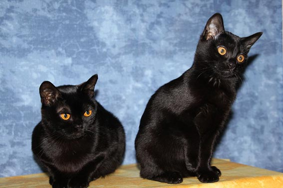 kleine katzenrassen und die kleinste katze der welt. Black Bedroom Furniture Sets. Home Design Ideas