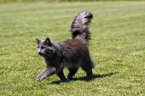 Norwegische Waldkatze Alle Infos Zur Rasse