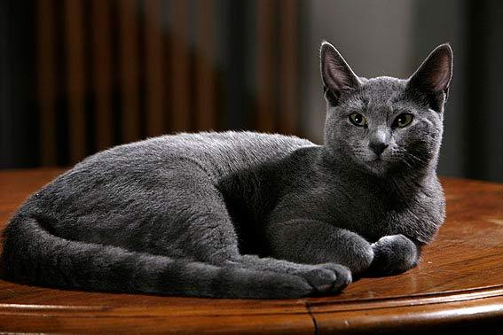 russisch blau katze alle infos zur rasse die tierexperten. Black Bedroom Furniture Sets. Home Design Ideas