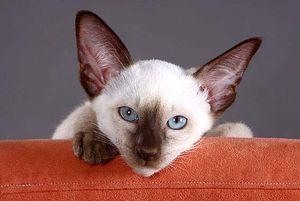 katzenrassen alles auf einen blick tierportal animals. Black Bedroom Furniture Sets. Home Design Ideas